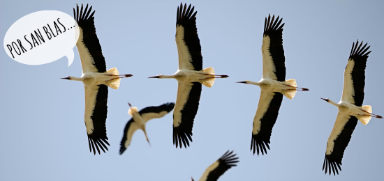 Por San Blas, las cigüeñas verás